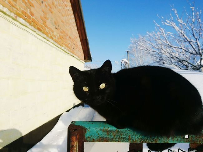 Domestic Cat Pets One Animal Black Color Portrait Domestic Animals Outdoors No People Day Sky Feline Winter Animal Themes Mammal Pet Portraits