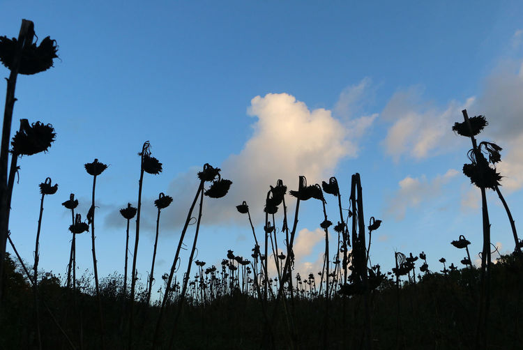 Dead sunflowers stand sentry to the change of season Beauty In Nature End Of Summer Low Angle View Nature Outdoors Silhouette Sky Sunflower Sentries Sunflower Sillouette Sunflowers