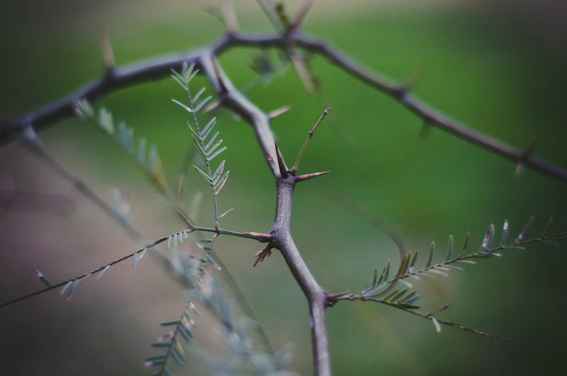 Beauty In Nature Branch Close-up Day Focus On Foreground Green Color Growth Land Nature No People Outdoors Plant Plant Part Selective Focus Sharp Spiked Spiky Thorn Tranquility Tree Twig