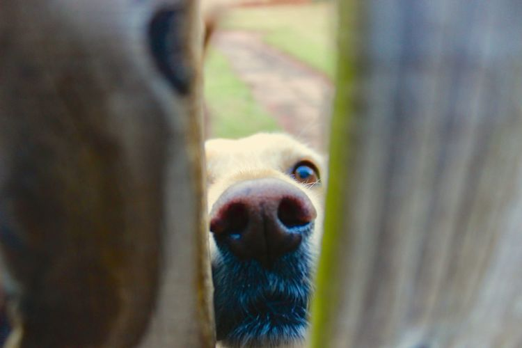 Green Color Looking At Camera Animal Body Part Animal Head  Animal Themes Brown Close-up Day Dog Dog\ Domestic Animals Fence Labrador Retriever Looking At Camera Looking Through An Object Mammal No People One Animal Outdoors Pets Portrait Wood Fence