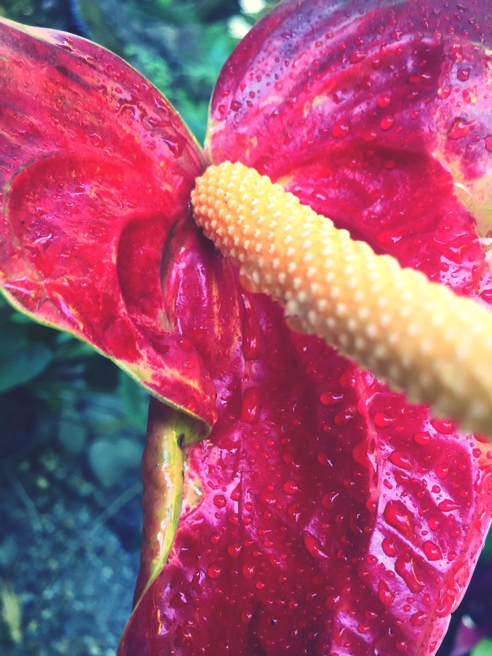 close-up, red, freshness, no people, plant, growth, nature, day, flowering plant, flower, beauty in nature, fragility, vulnerability, inflorescence, water, focus on foreground, drop, flower head, wet, outdoors, soft focus, dew