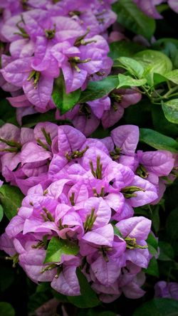 The Beauty of Bougainvillea Bougainvillea @gpmzn Shot On Leica!! EyeEm Best Shots Beauty In Nature Beauty In Ordinary Things Dawn Flower Head Flower Purple Petal Close-up Plant In Bloom Plant Life Blooming Blossom Lilac Flowering Plant Visual Creativity Summer Exploratorium