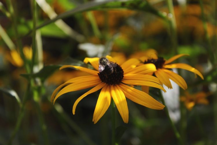 Goodmorning Light EyeEmNewHere EyeEm Nature Lover Canon Canon Rebel T6 Transitional Moments Colors Garden Black Eyed Susans Flower Head Flower Black-eyed Susan Defocused Yellow Petal Insect Close-up Flowering Plant Symbiotic Relationship Pollination Buzzing Pollen Bee