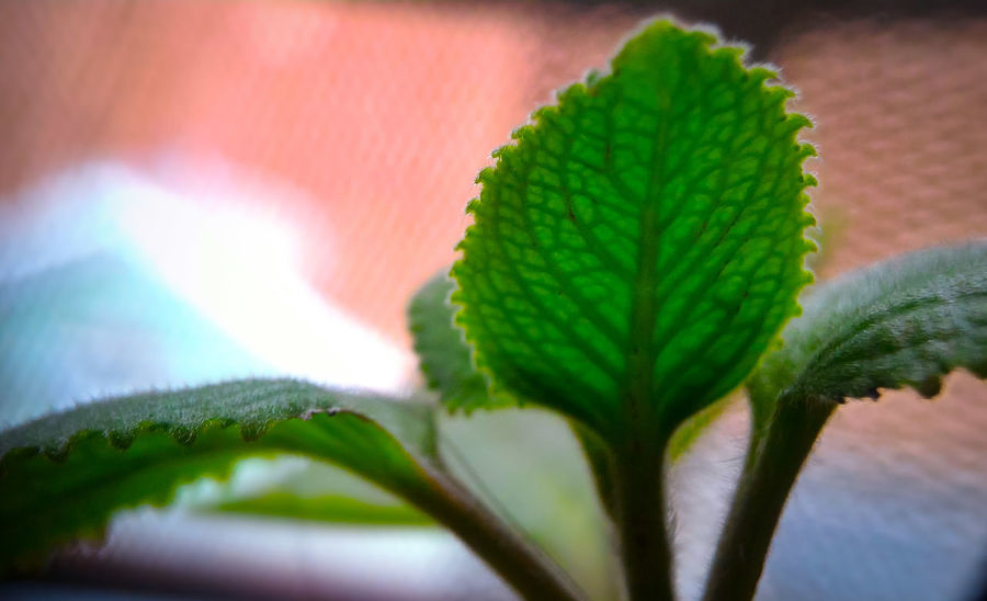 Oregano leaves Green Color Leaf Plant Close-up Nature EyeEm Market © No People Day Indoors  Beauty In Nature Freshness Eyeem Market Eyeemmarket Geometry Everywhere Nature_collection Nature Photography Naturelovers Herbal Plant Herbal Garden Herbal Oregano Leaves Oregano Plant Oregano Oregano, Herbal Remedies