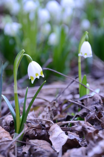 Flower Hungary Leucojum Leucojum Vernum March 2017 Nature Nature Photography White Whiteflower