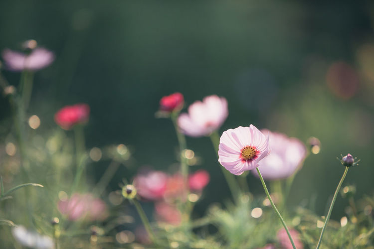 Cosmos Flower Cosmos Cosmos Field Wallpaper Wallpaper Background Backgrounds Background Flower Flowering Plant Freshness Fragility Plant Vulnerability  Growth Beauty In Nature Petal Flower Head Inflorescence Selective Focus Close-up No People Nature Field Land Pink Color Day Outdoors Pollen