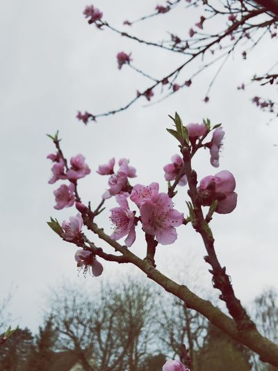 Outdoors Nature Tree Flower Growth Pink Color Close-up Freshness Beauty In Nature Fragility Branch Springtime Petal Low Angle View Spring Spring Flowers