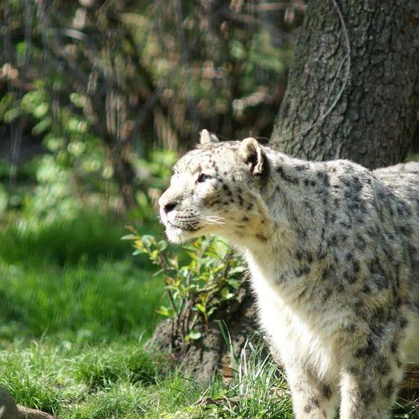 EyeEmNewHere Bronx Zoo Snow Leopards Snowleopard Big Cats Leopard Photo Bigcatphotography Bigcatlovers Longislandphotographers Nycphotography NYC Photography NYC LIFE ♥ The Week On EyeEm See The Light