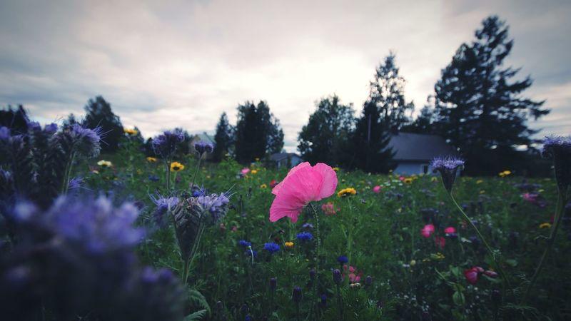 Poppies🌸 Poppy Love Poppy Flowers Pink Color Flower Head Flower Field Poppyfield InTheDark Poppy