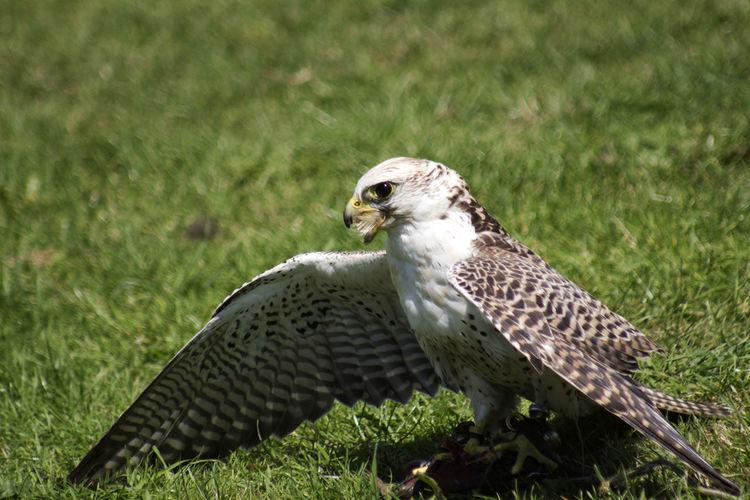 Falcon landing Falcon Feathers Animal Themes Bird Bird Of Prey Birdofprey Close-up Grass One Animal Outdoors