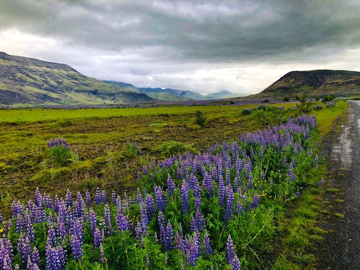 Icelandic Vista Volcanic Landscape Flowering Plant Flower Plant Beauty In Nature Sky Cloud - Sky Mountain Tranquil Scene Growth Environment Scenics - Nature Landscape Nature Tranquility Land No People Freshness Field Mountain Range Day