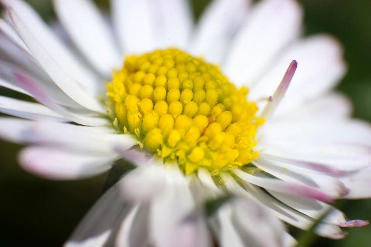 Close-up Daisy Day Flower Flower Head Garden Outside Spring