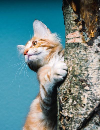 Ginger cat on a branch studio shot