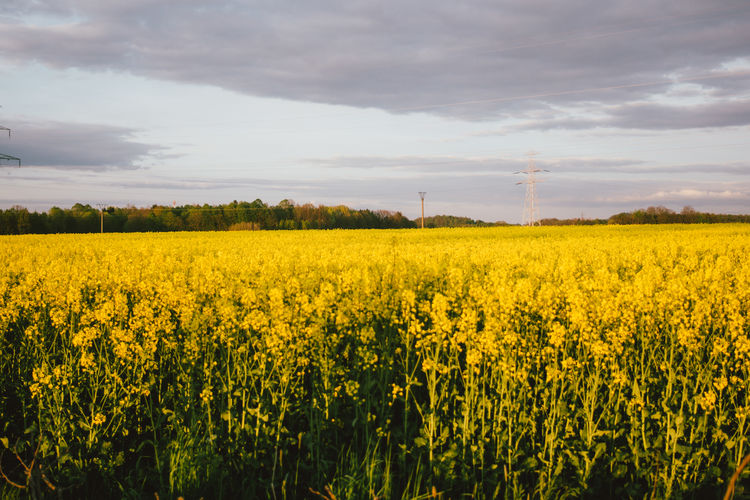 Yellow rapeseed field landscape in sunset Field Flower Rapeseed Rural Scene Landscape Yellow Agriculture Land Plant Oilseed Rape Outdoors Tranquil Scene Springtime Nature Poland Countryside