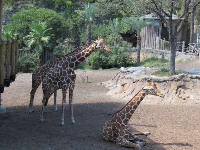 Giraffes Giraffes! Animal Themes Animal Wildlife Animals In The Wild Day Full Length Giraffe Mammal Nature No People Outdoors Safari Animals Sand Standing Tree