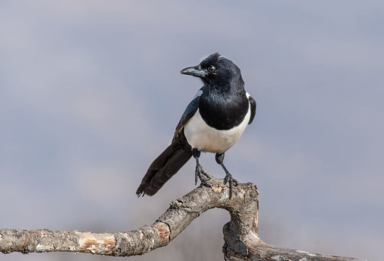Eurasian magpie (pica pica) Nature and wild bird image Eurasian Magpie Pica Pica Animal Wildlife Animals In The Wild Bird Vertebrate Animal Themes Animal One Animal Perching No People Day Focus On Foreground Nature Outdoors Branch Close-up Sky Solid Rock Tree Black Color