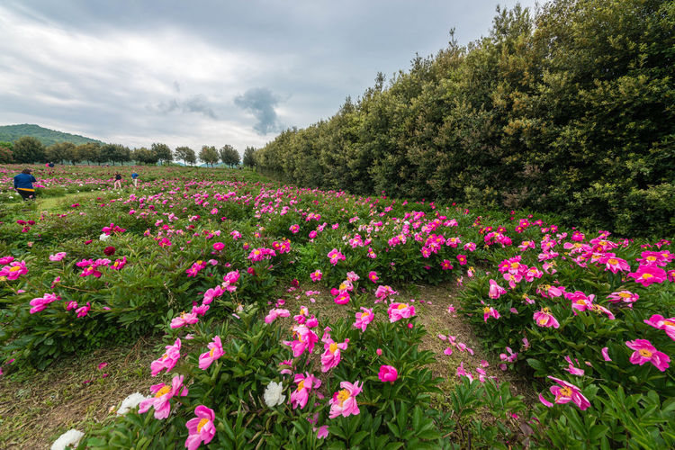 Abundance Beauty In Nature Blooming Cloud Cloud - Sky Day Field Flower Flowerbed Fragility Freshness Growth In Bloom Nature Outdoors Petal Pink Color Plant Scenics Sky Springtime Tranquil Scene Tranquility Tree Wildflower First Eyeem Photo