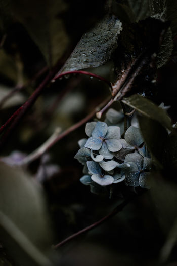 Wet hydrangea flower Plant Growth Close-up Leaf Plant Part Beauty In Nature Nature No People Tree Fragility Vulnerability  Flower Selective Focus Dry Day Fruit Flowering Plant Plant Stem Cold Temperature Outdoors Wilted Plant