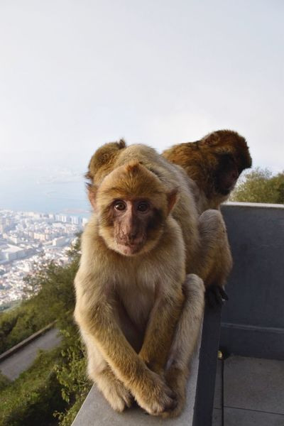 The monkeys of Gibraltar are fascinating. Their behaviour and movements are so similar to ours, I could look at them for hours and still be intrigued Monkey Mammal Animal Themes Fascinating Gibraltar Gibraltar Rock Nikon Nikonphotography NikonD5500 Human Portrait Apes Of Gibraltar Ape Monkeys Curiosity Curious Young Animal Family Grooming Grooming Monkeys Sitting Intriguing Animal Kingdom Travelphotography EyeEmNewHere