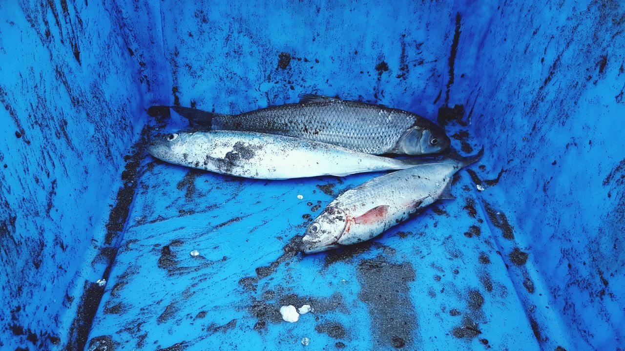 fish, blue, seafood, food and drink, food, no people, healthy eating, close-up, freshness, outdoors, day