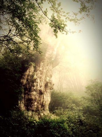縄文杉。圧巻の迫力、大自然の偉大さ、恐るべし。