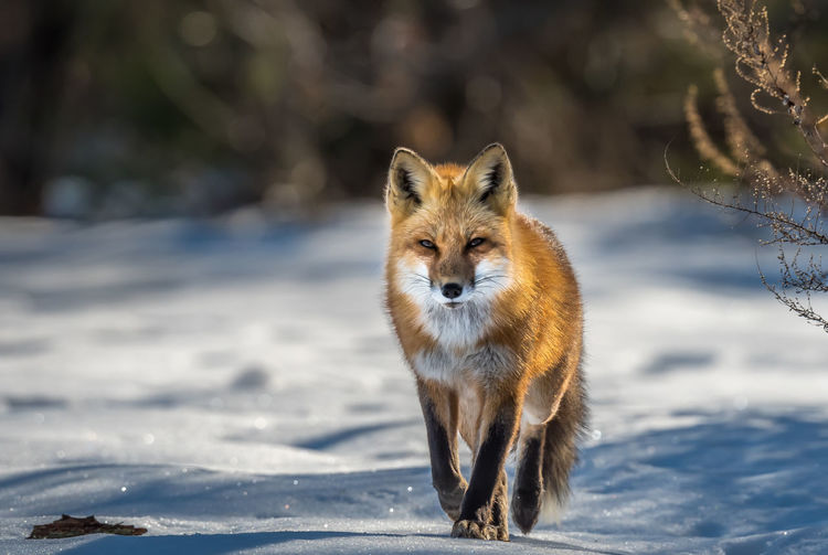 Portrait of an animal on snow