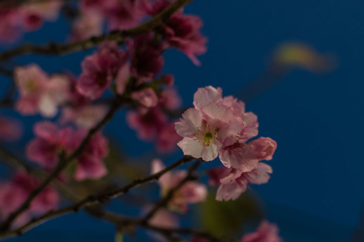 Light And Shadow Sakura Cherry Blossoms Cherry Tree EyeEm Selects Flower Fragility Beauty In Nature Petal Nature Flower Head Growth Blossom Close-up Focus On Foreground Springtime No People Plant Branch Day Outdoors Freshness Pink Color Tree Sky