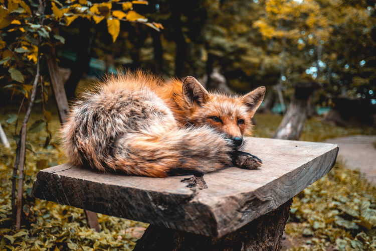 Japan Nara Animal Themes Animals In The Wild Close-up Day Fox Mammal Nature No People One Animal Outdoors