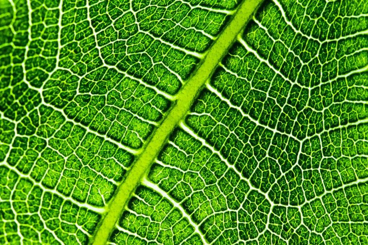 Mint By Motorola Leaf Fig Structure Branches Fig Leaf Macro_collection Makro_collection Aorta EyeEm Nature Lover