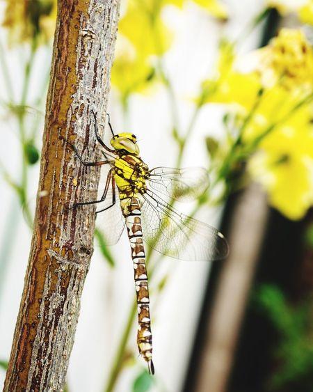 Dragonfly &