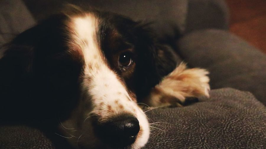 Relaxing Dog Life Dogs Of EyeEm Dogs Springer Spaniels English Springer Spaniel Pets Dog Domestic Animals One Animal Mammal Indoors  Animal Themes Close-up Looking At Camera No People