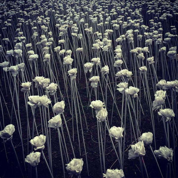 10000 white roses White Roses Roses🌹 Flowers Cebu Cebu Philippines