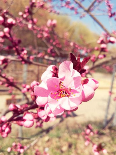 Flower Nature Pink Color Cherry Blossom No People Outdoors Close-up Flower Head Growth Petal Blossom Plant Beauty In Nature EyEmNewHere Spring Flowers Spring Has Arrived EyeEm Nature Lover Springtime Millennial Pink