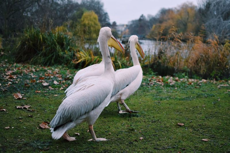Bird Animal Themes Animals In The Wild White Color Animal Wildlife One Animal Field Nature Outdoors Day No People Grass Beak Beauty In Nature Close-up Swan London