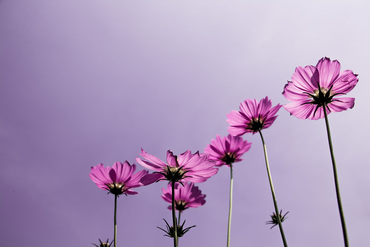 Low angle view of pink cosmos flowers against sky