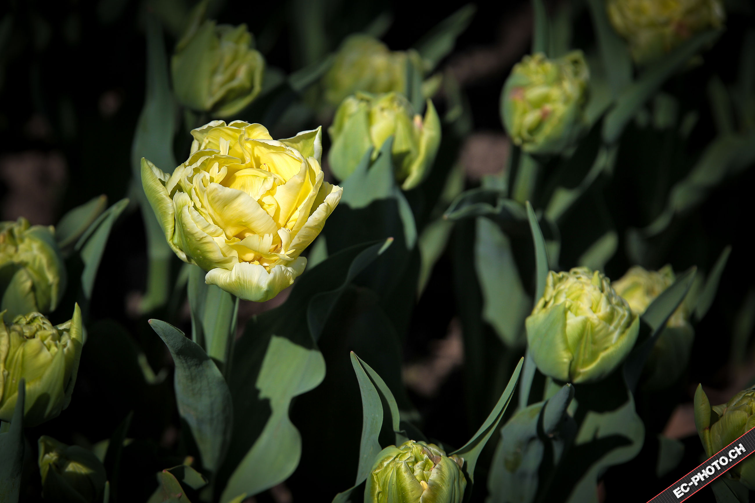flower, yellow, freshness, petal, fragility, close-up, growth, flower head, beauty in nature, plant, focus on foreground, nature, leaf, blooming, bud, stem, outdoors, no people, day, in bloom