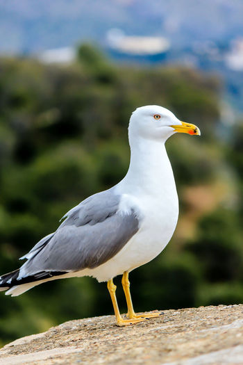 Bird Animals In The Wild Vertebrate Animal Themes Animal Wildlife Animal One Animal Seagull Perching Focus On Foreground Close-up White Color Sea Bird Full Length Looking Looking Away Gull Sea Gull Birds Of EyeEm  Nature Outdoors