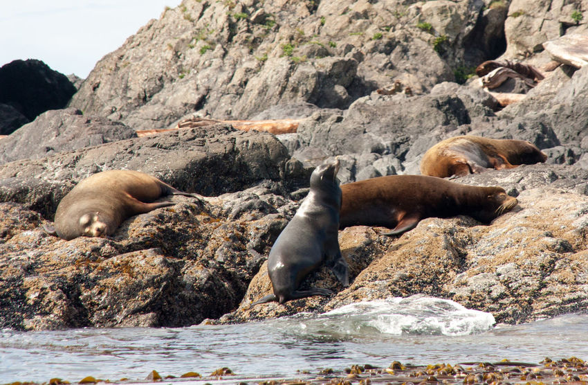 Adventure Animal Themes Animals In The Wild British Columbia Canada Long Beach Mammal Mountain Nature Ocean Outdoors Pacific Rim Pond Rock - Object Rugged Sea Lion Tofino Ucluelet Vancouver Island Water Wild Pacific Trail Wilderness Wilderness Adventure Wildernessculture Wildlife
