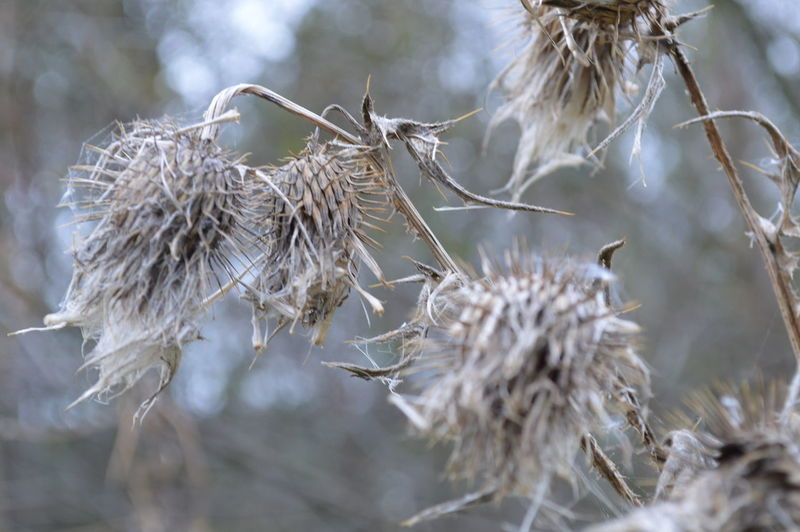 Autumn The End Of All Things Beauty In Nature Close-up Day Dead Plant Dried Plant Dry Flower Flower Head Fragility Growth Nature No People Outdoors Plant Wilted Plant