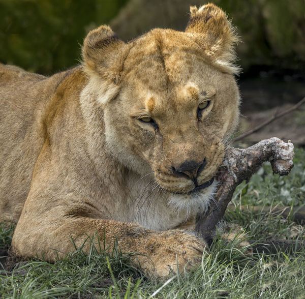Lioness with bone. Animal Animal Head  Animal Themes Animal Wildlife Animals In The Wild Carnivora Cat Day Feline Female Animal Grass Lion - Feline Lioness Mammal Nature No People One Animal Outdoors Plant Relaxation Undomesticated Cat Vertebrate