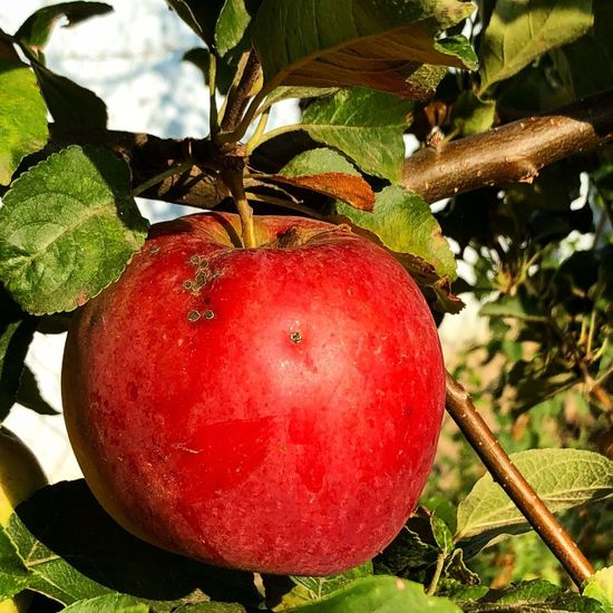 Red apple Food And Drink Freshness Nature Wellbeing No People Growth Leaf Close-up Outdoors Day Hanging Plant Part Sunlight Ripe