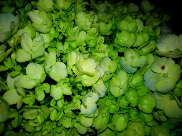 Freshness Backgrounds Full Frame Green Color Large Group Of Objects High Angle View Nature Plant Fragility Close-up Abundance Beauty In Nature Growth Selective Focus Repetition Outdoors Day Botany Huawei Shots Huawei Y5 Beauty In Nature Flowers Scenics Flower Nature In The Night