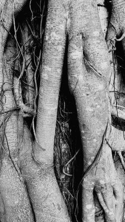 Pohon Candiagung Amuntai