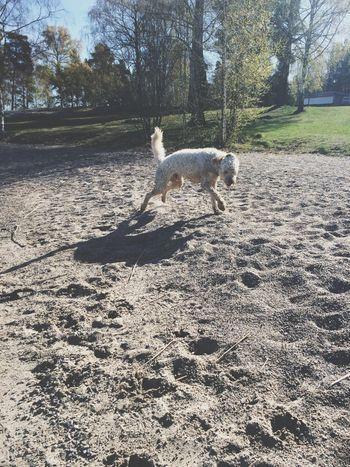 Labradoodle Enjoying Life Playing With The Animals Dog