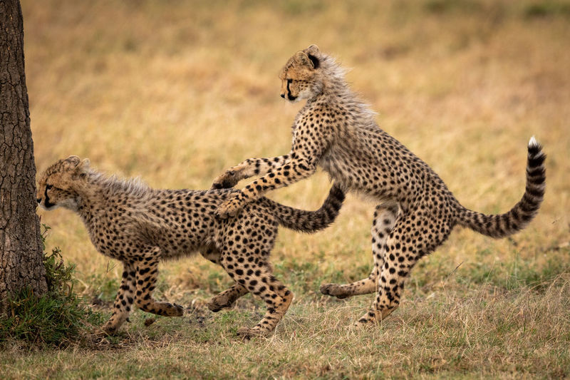 Close-Up Of Cheetahs Playing On Field By Tree Trunk