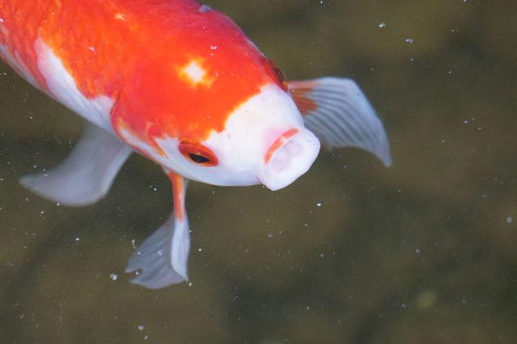 Close-up of koi carp swimming in pond