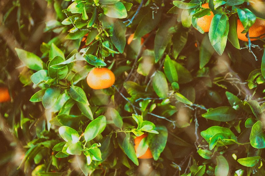 Blurred Chainlink On Foreground Branch Citrus Fruit Daylight Food Freshness Fruit Green Color Growth Healthy Eating Healthy Food Leaf Mandarins Natural Food Nature No People Outdoors No People 😇😇😇 Orange Color Sunnyday 🌸🌷🌿 Tree