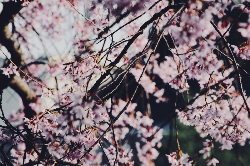 Cherry Blossoms close-up Japan Japan Photography Travel Japan Travel Spring Outdoors Cherry Blossom Sakura Cherry Tree Sakura Blossom Plant Tree Day Beauty In Nature No People Nature Focus On Foreground Springtime Freshness Close-up Blossom Branch Beauty In Nature Nature Cherry Blossom Pink Color
