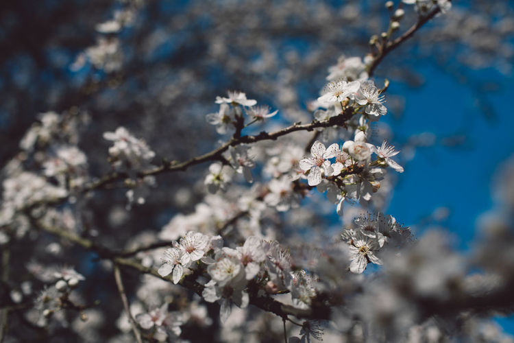 Cherry Blossom Blossom Tree Branch Flowers Flower White Blue Sky Focus On Foreground Selective Focus Nature Beauty In Nature Tranquility
