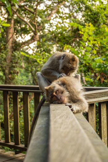 Monkey massage Sangeh Monkey Forest Massage Therapy Peaceful Friendship Monkey Spa Mammal Animal Themes Animal Animal Wildlife Tree Animals In The Wild One Animal No People Relaxation Nature Day Primate Monkey Wood - Material Animal Family Outdoors